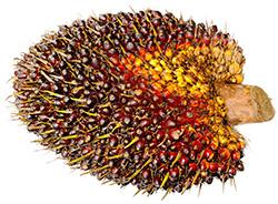 Aceite de palma perjudicial Blog con ciencia natural sakai