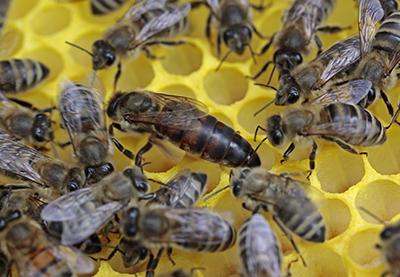 La Jalea Real aumenta la longevidad de la abeja reina